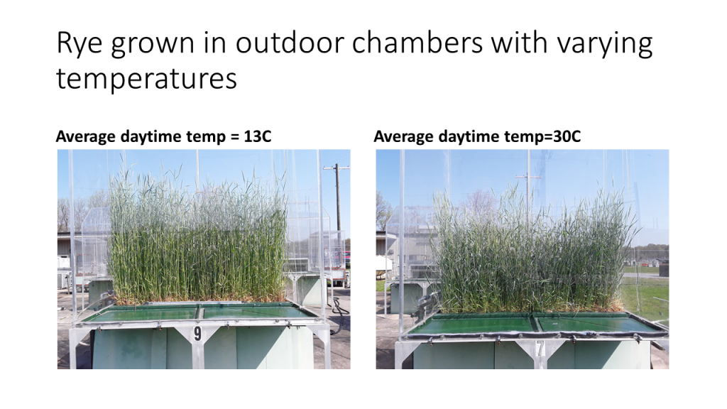 Rye grown in outdoor chambers with varying temperatures.